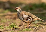 Red Legged or French Partidge
