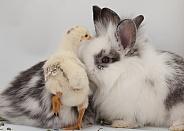 Gallus gallus, domestic chicken, Oryctolagus cuniculus, domestic rabbit