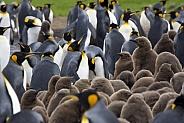 King Penguin colony - Falkland Islands
