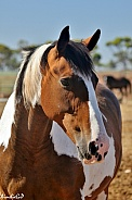 Paint/Clydesdale Cross Horse