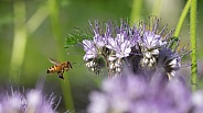 Honey Bee Attracted to Lacy Phacelia or Scorpion Weed