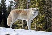 Grey Wolf