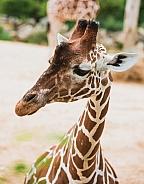 Giraffe Profile view