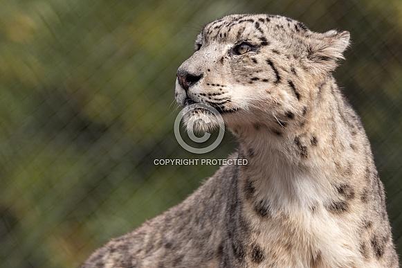 Snow Leopard Close Up Side Profile