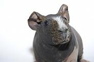 Guinea Pig - ''Skinny Pig'