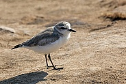 White Fronted Plover - Namibia