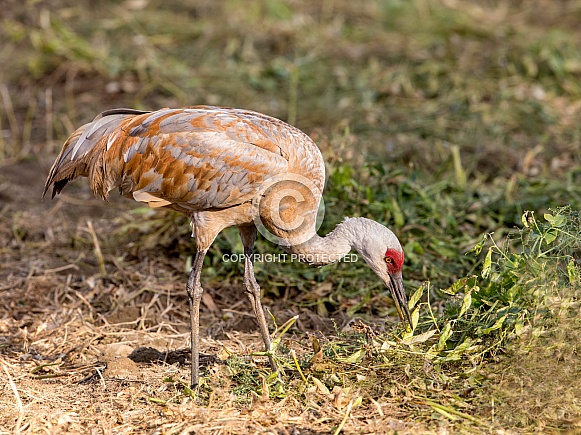 Sandhill Crane Eating a Pea