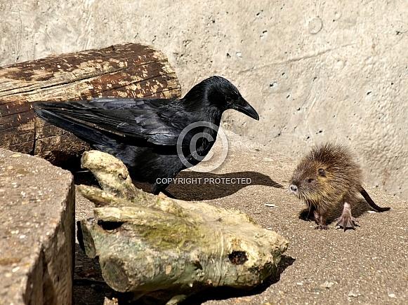Coypu baby and crow
