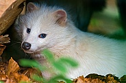 White Raccoon Dog