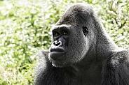 Western Lowland Gorilla Close Up Looking Sideways