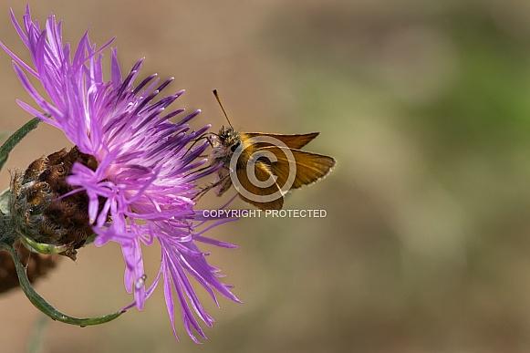 tadpole butterfly