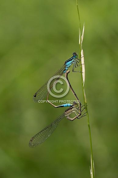 Common Bluetail Damselflies.