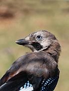 Eurasian Jay (Garrulus glandarius) Bird