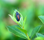 Squash Vine Borer insect
