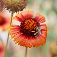 Honey Bee On Blanket Flower