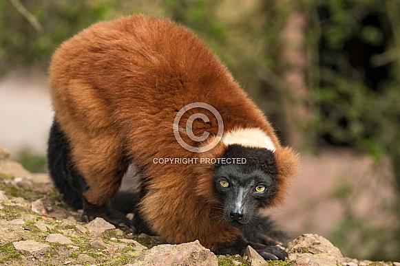 Red Ruffed Lemur Full Body Shot