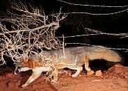 Grey fox Urocyon cinereoargenteus
