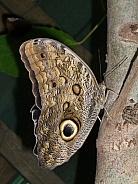 Owl Butterfly