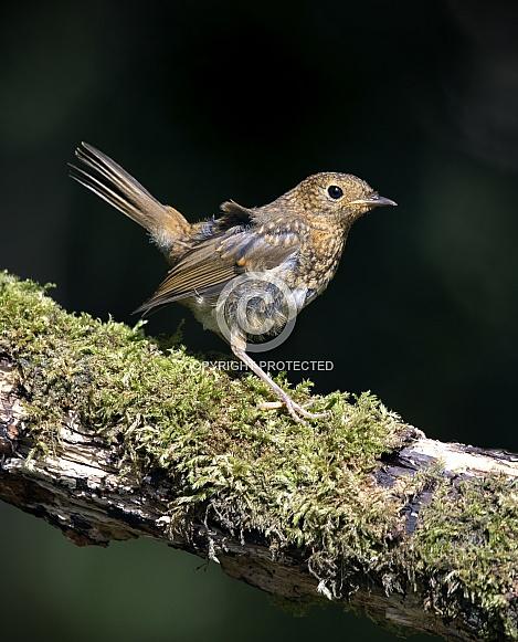 European Robin, Juvenile