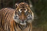 Sumatran Tiger Starting To Snarl