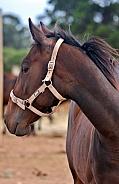 Brown Horse in Halter