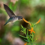 Hummingbird and Mexican Honeysuckle