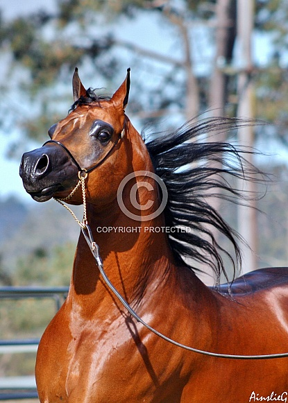 Arabian Stallion IV