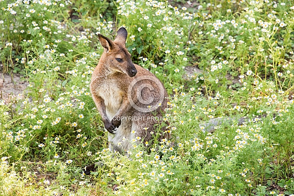 Western Grey Kangaroo and Daisies