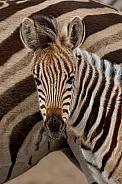 Zebra foal framed in stripes