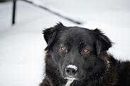 Mixed Shepherd Dog