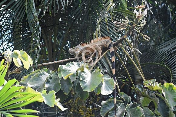 Orange Iguana in the jungle