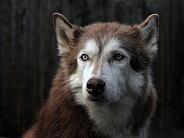 Husky Hound