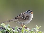 White-crowned Sparrow Portrait
