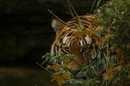 Amur Tiger Hiding In Bush Just Visible