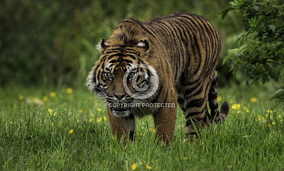 Sumatran Tiger Walking Full Body Shot