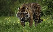 Sumatran Tiger Walking Full Body Shot