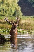 Red Deer Stag during the rutting season