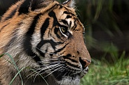 Sumatran Tiger Profile Shot