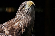 White Tailed Fish Eagle, Close Up