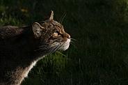Scottish wildcat hunting