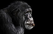 Chimpanzee Side Profile Black Background