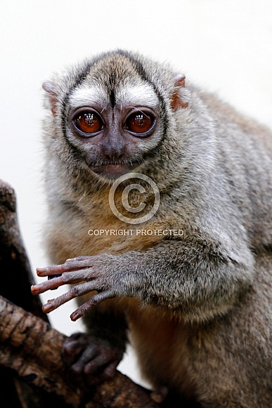 Gray-bellied night monkey