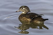Female Wood Duck in a pond