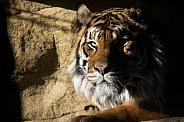 Sumatran Tiger in Shadow