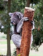 Koala on branch