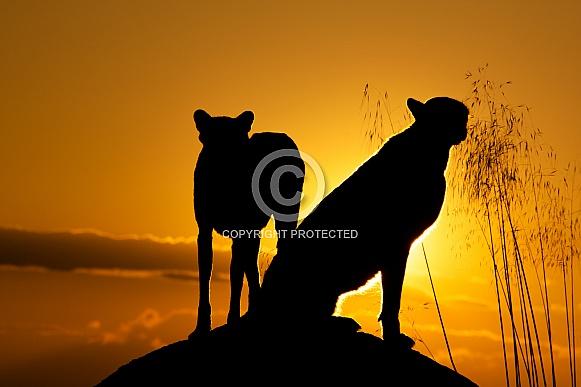 Cheetah double Silhouette