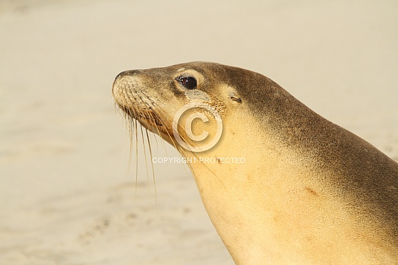 Fur Seal Head shot
