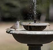 White-crowned Sparrow at the Birdbath