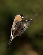 Eurasian Bullfinch in Flight (female)