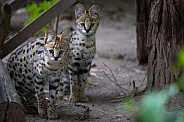 two serval kitten